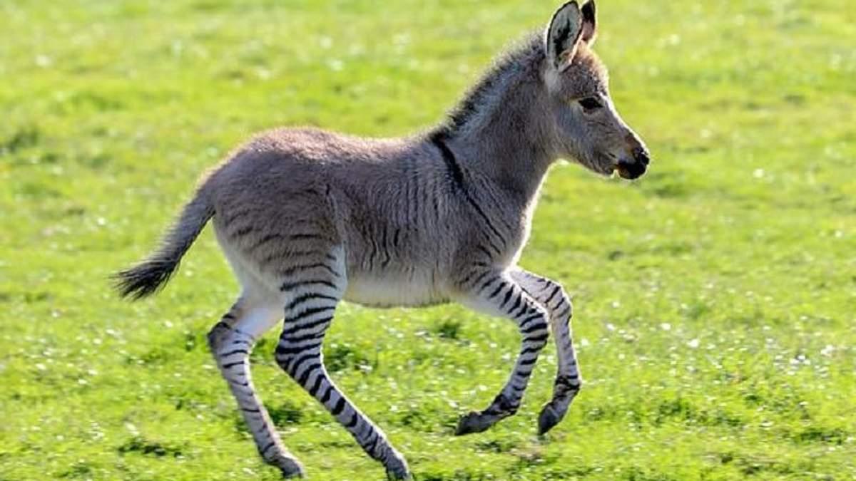 У Великобританії народився рідкісний гібрид осла та зебри