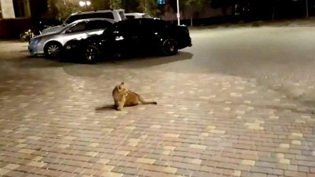 Львенок посреди улицы в Одессе