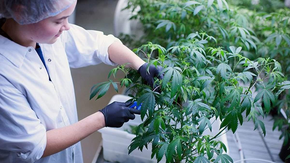 Канадская компания медицинской конопли будет инвестировать в Европу для выращивания конопли, которую будут использовать в лечении.