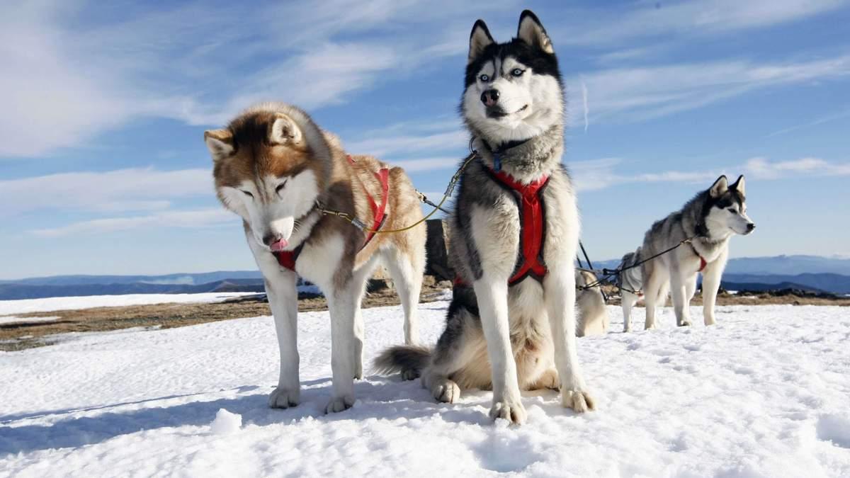 С 2019 года по Дании собачьи упряжки официально станут видом транспорта
