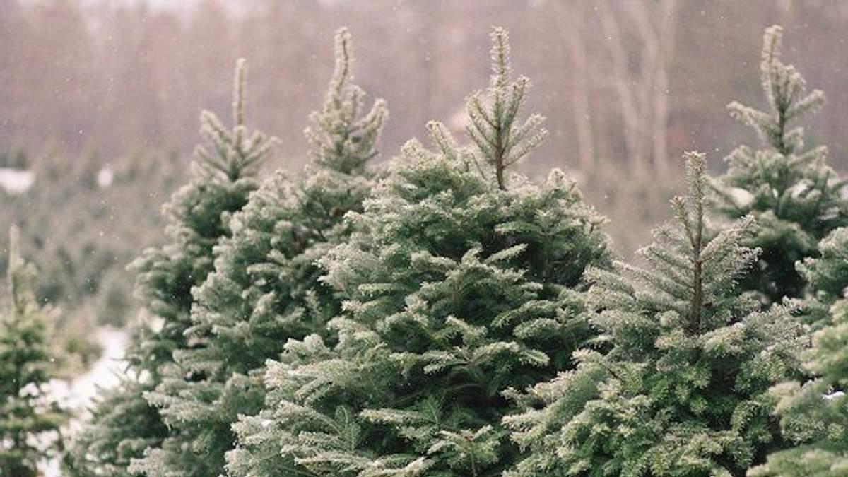 Держлісагентство назвало ціну на новорічну ялинку 2019