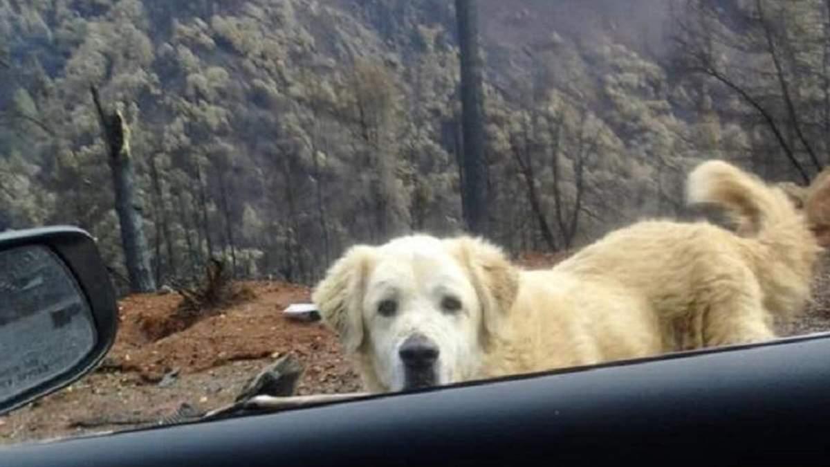 У Каліфорнії собака майже місяць чекав господарів біля згорілого будинку
