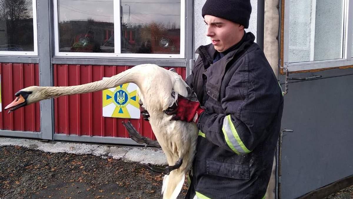 Порятунок лебедів