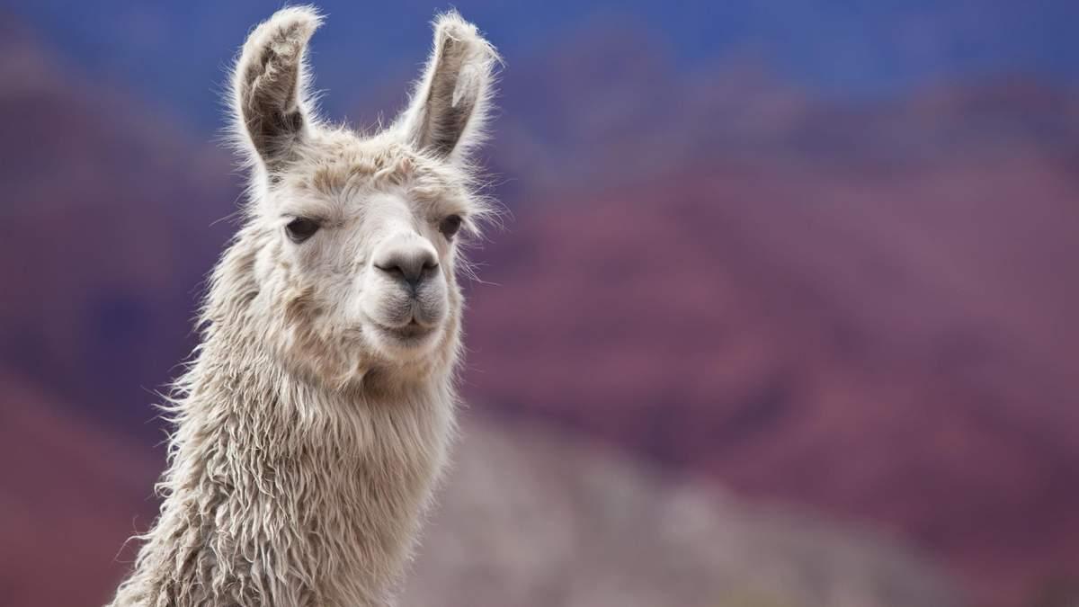 Во французской коммуне изловили ламу, которая несколько дней без присмотра бродила по городу