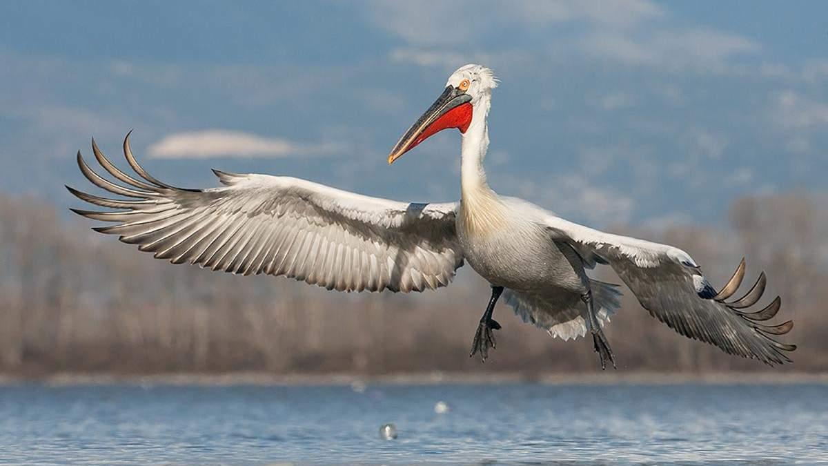 На Одещину прилетіли пелікани та величезні чаплі: відео