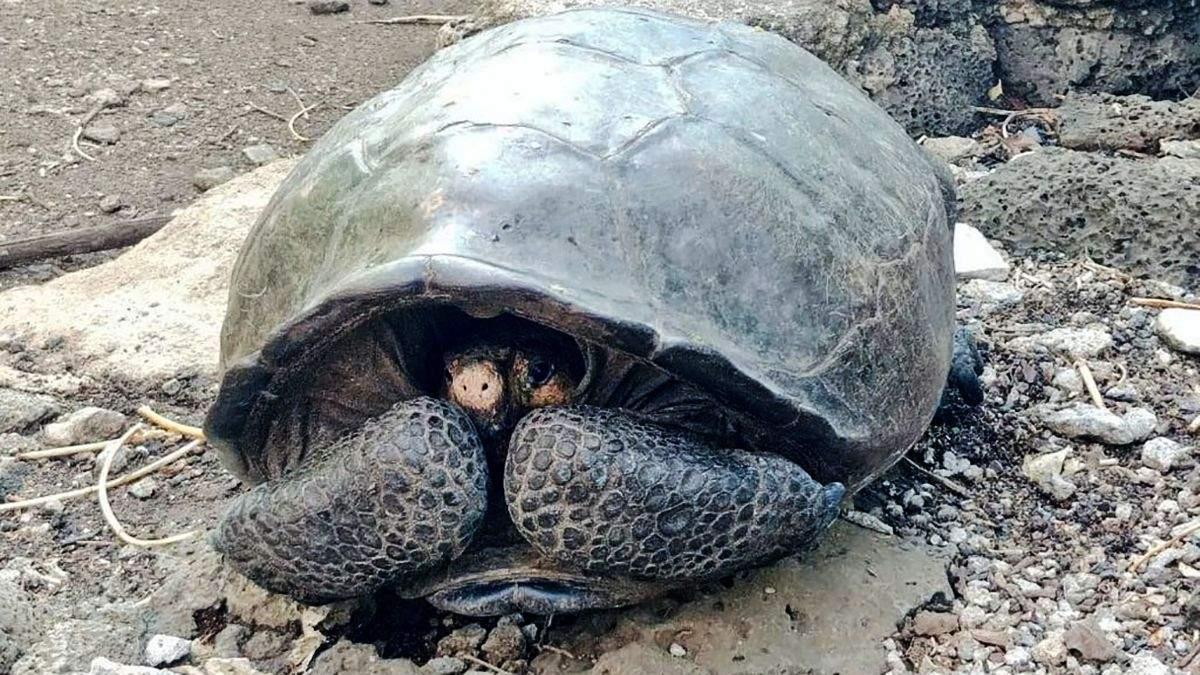 Черепаха виду Chelonoidis Phantasticus
