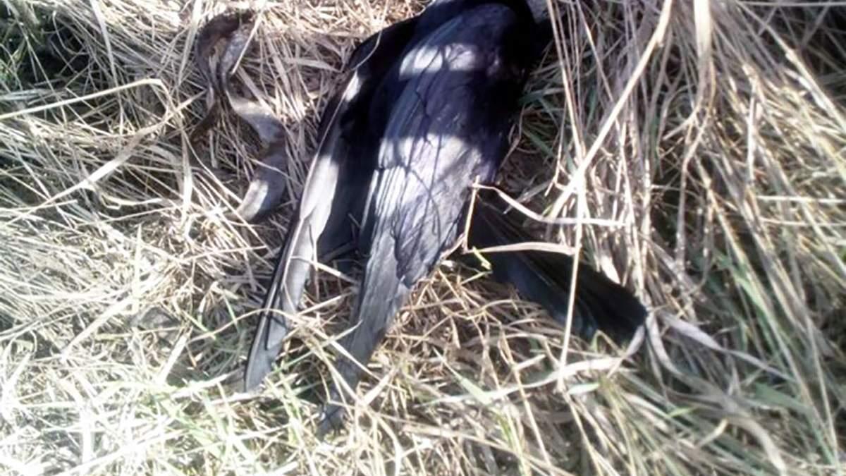 На Запоріжжі масово гинуть птахи