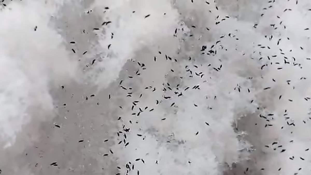 В России выпал снег с черными насекомыми