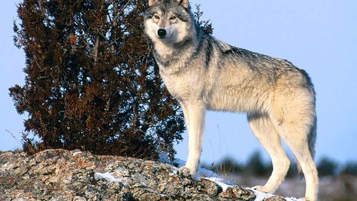 Вовки можуть товаришувати з людьми, як собаки, але не хочуть, – дослідження