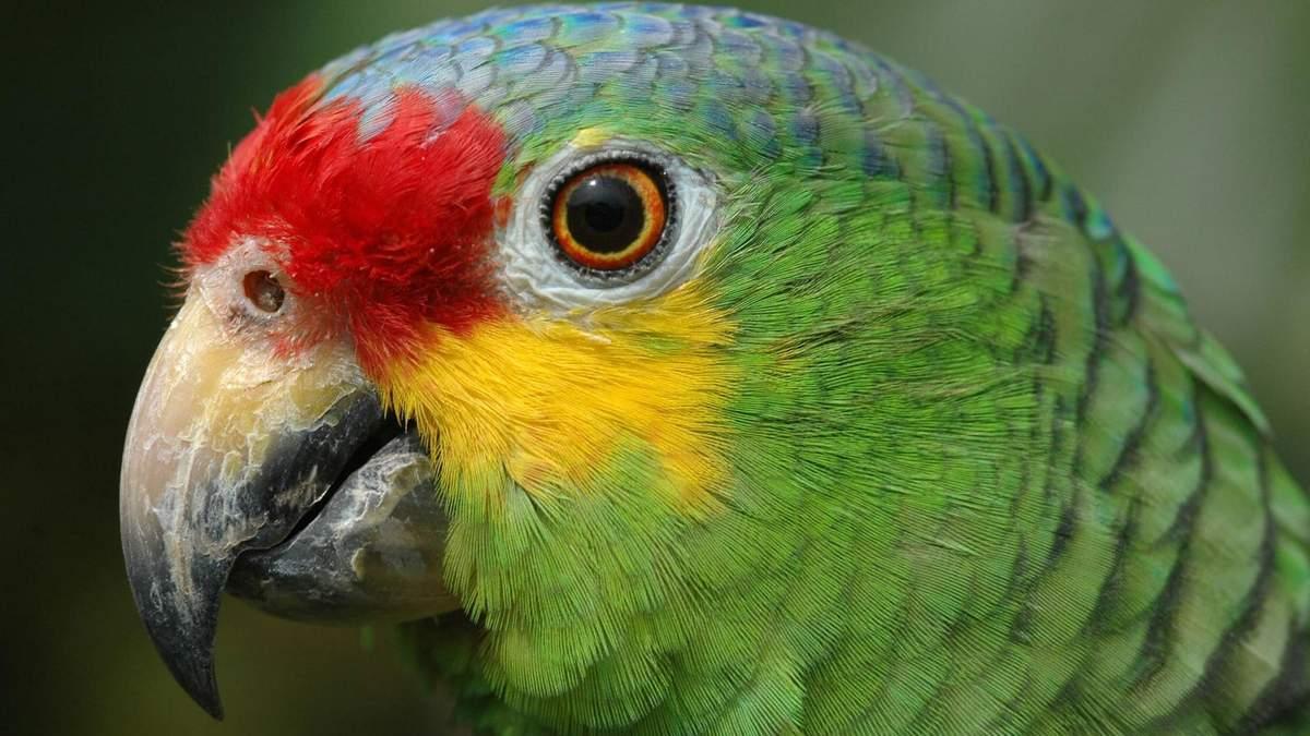 """У Бразилії """"затримали"""" папугу, який попереджав наркодилерів про поліцейські рейди"""