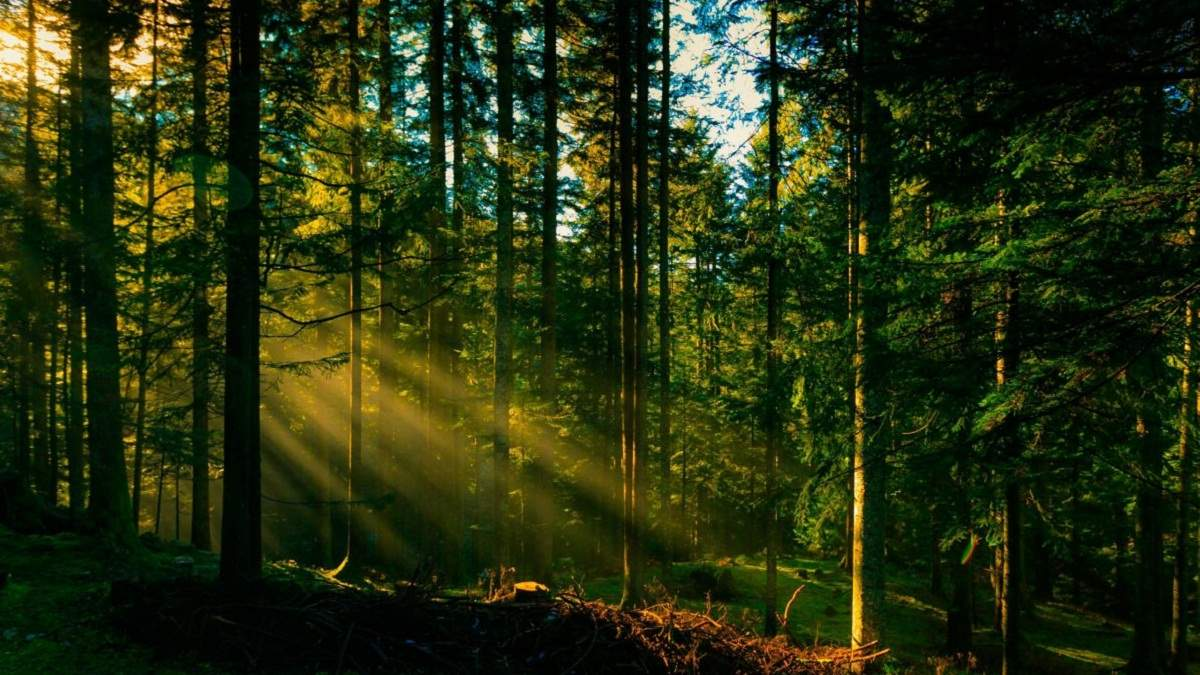 В Украине с целью восстановления высадили 24 тысячи гектаров леса