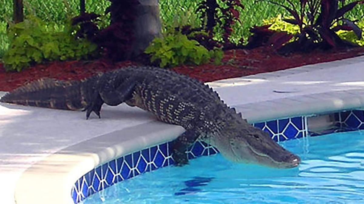 Алігатор заліз у басейн, щоб поплавати на матраці у формі алігатора: курйозне фото