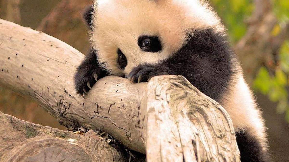 В Китае родился самый маленький панденок в мире