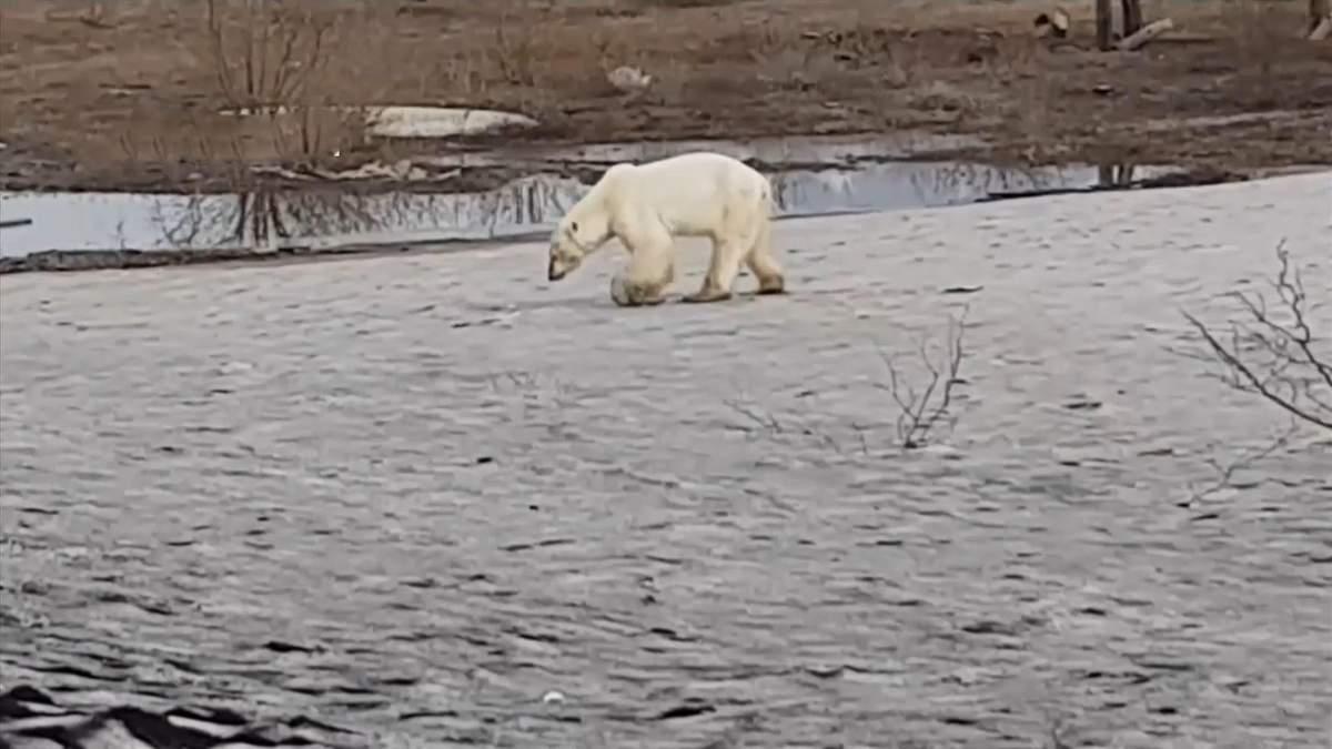 Біла ведмедиця вештається вулицями російського міста
