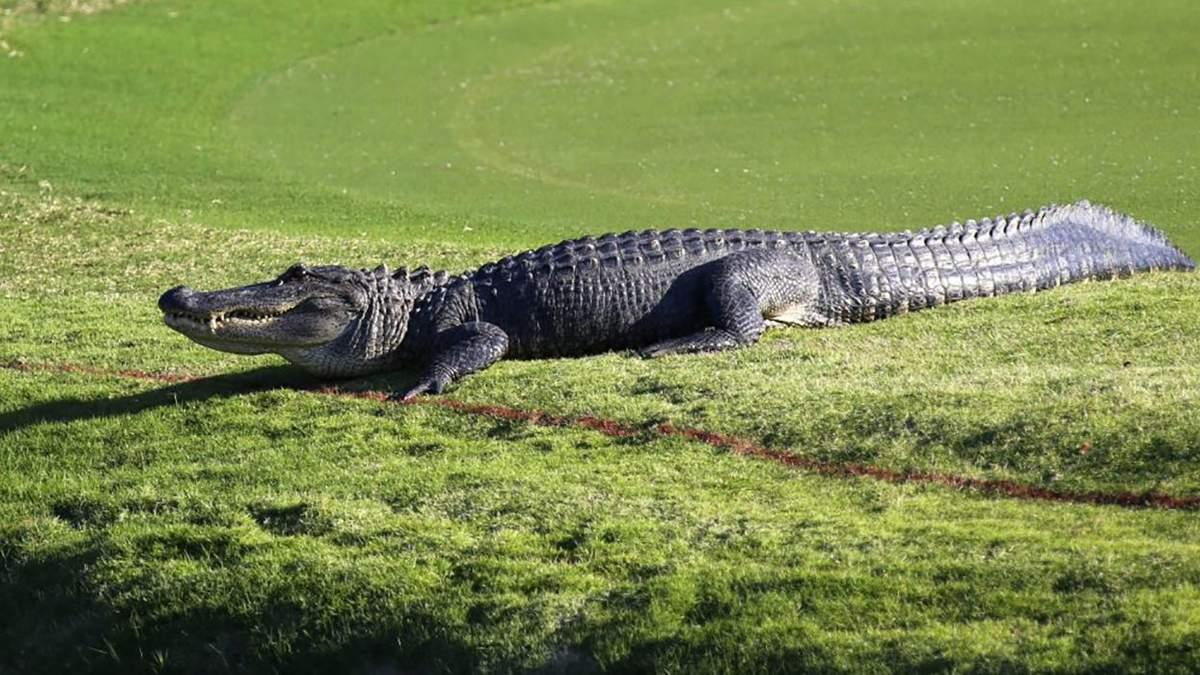 Гігантський алігатор виліз на поле для гольфу, але безстрашний спортсмен продовжив гру : відео