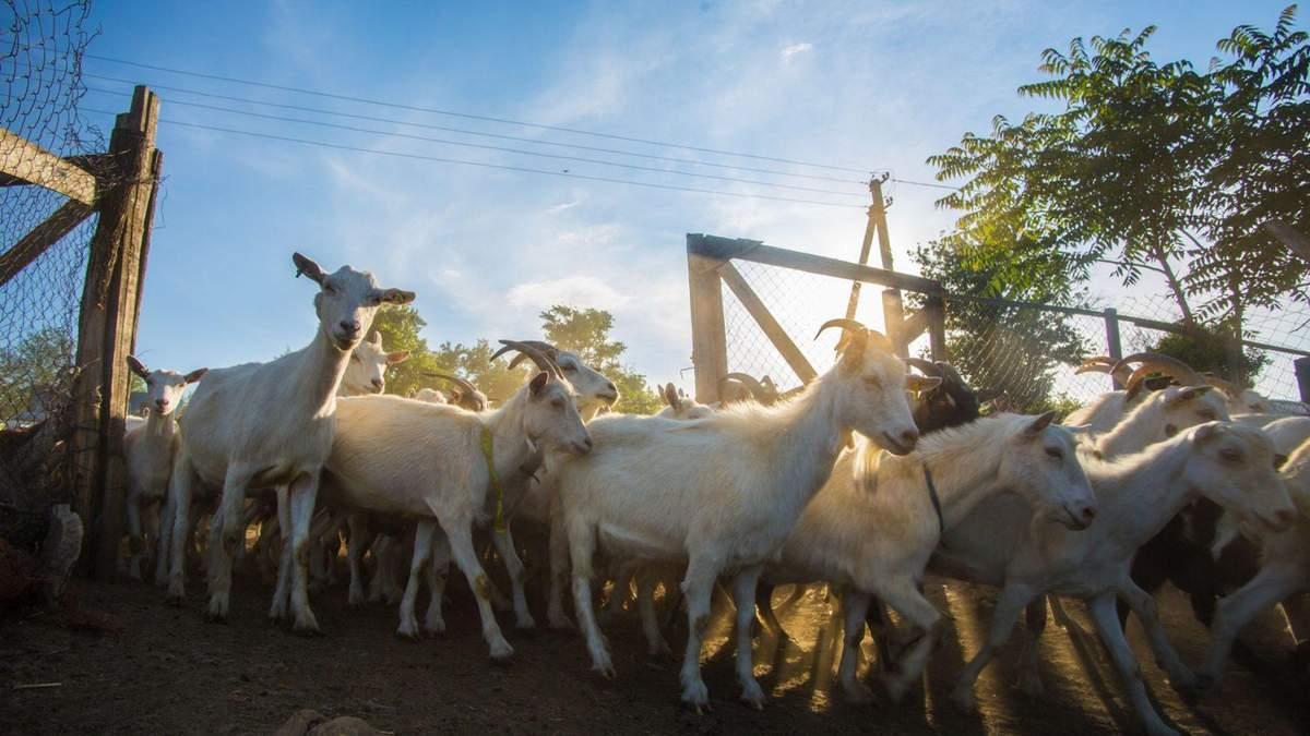 Успіх козячих ферм