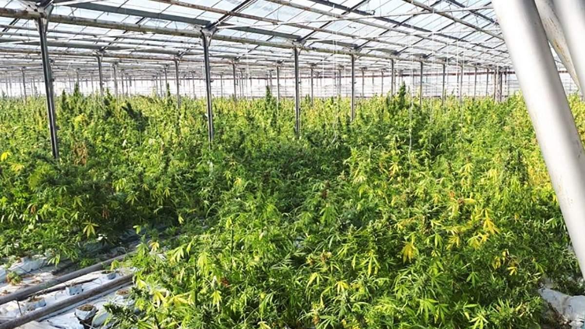 Видео плантация марихуаны марихуана и гашиш одно и тоже