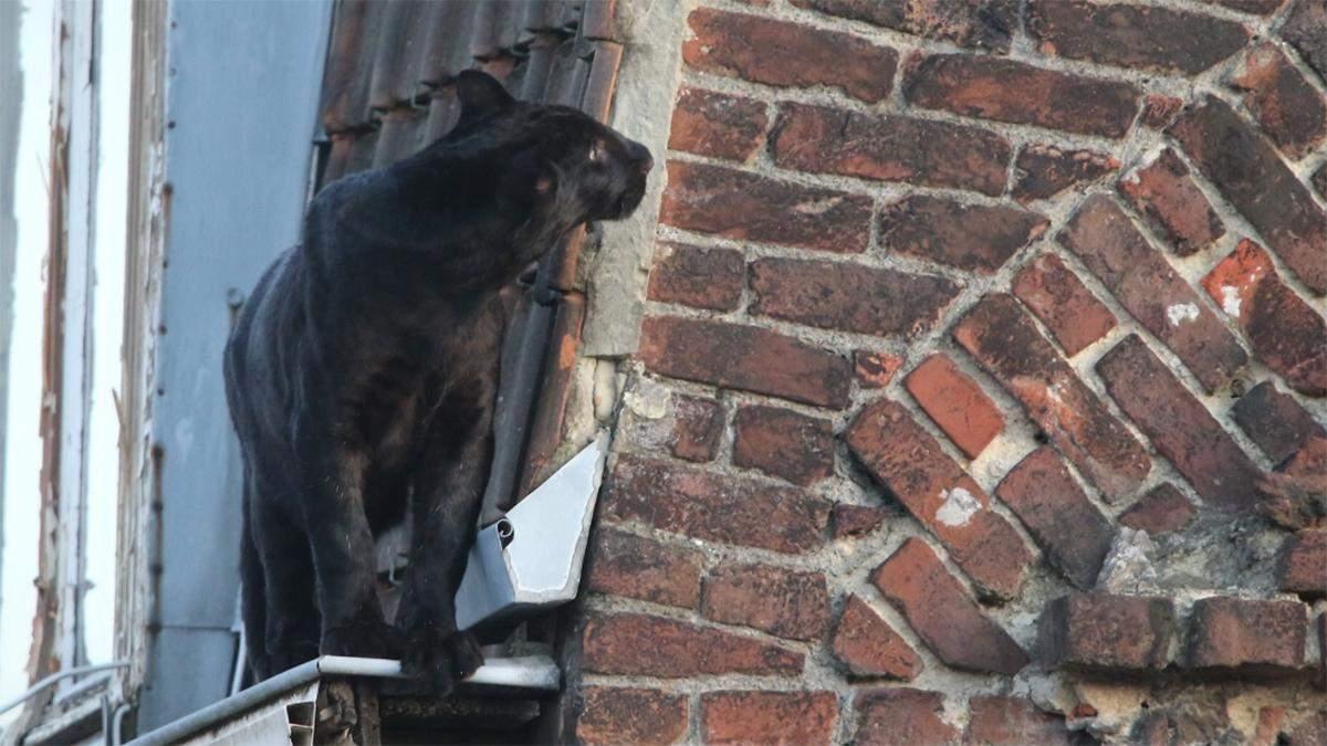 Чорна пантера розгулювала дахами у містечку Франції: курйозні фото і відео