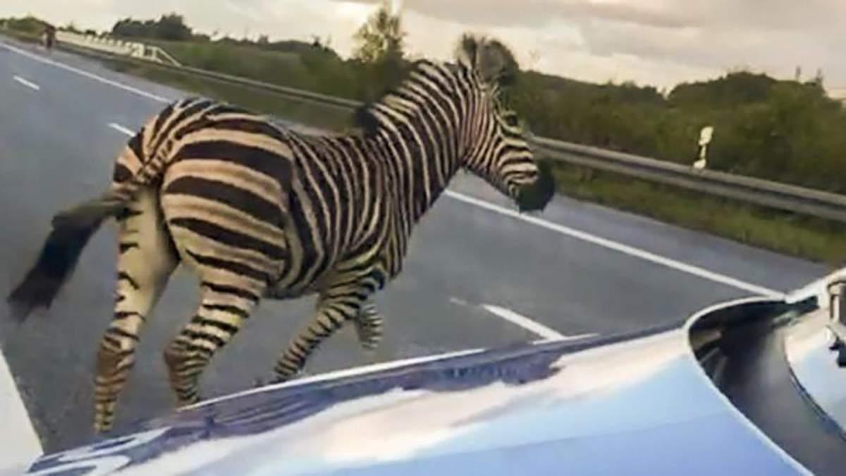 В Германии зебра сбежала из цирка