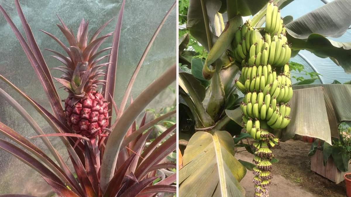 Фруктовая плантация открылась во Львовской области: сколько стоят деревья с бананами и киви