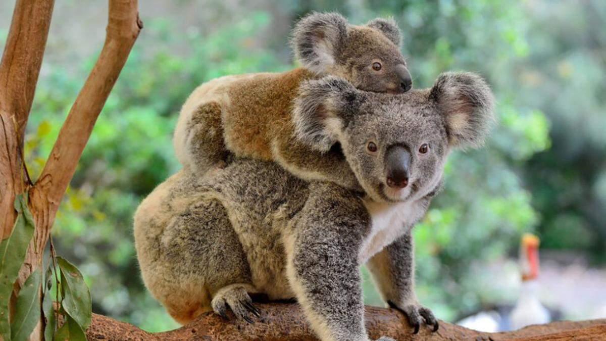 В Австралії тварини рятуються від пожеж у будинках людей