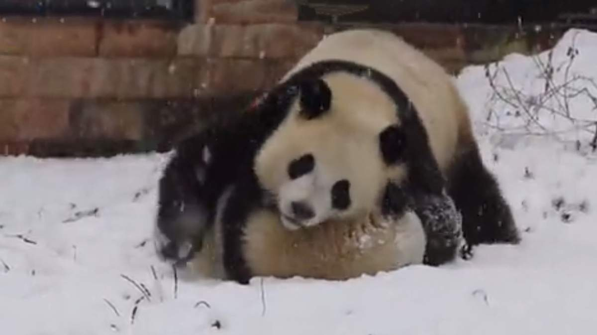 Сеть умилило видео, на котором панды борются в снегу