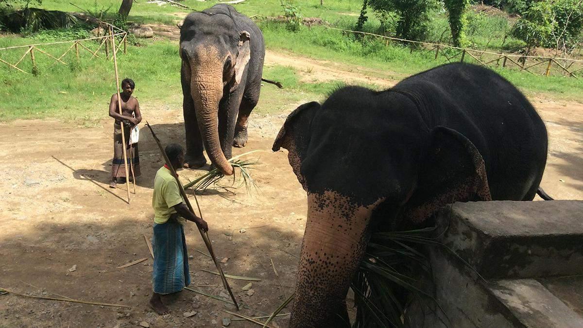 На Шрі-Ланці загинула рекордна кількість слонів у 2019 році