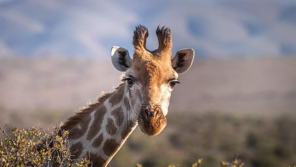 Жираф відбився від зграї левиць