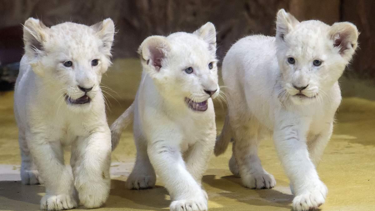 Білі левенята