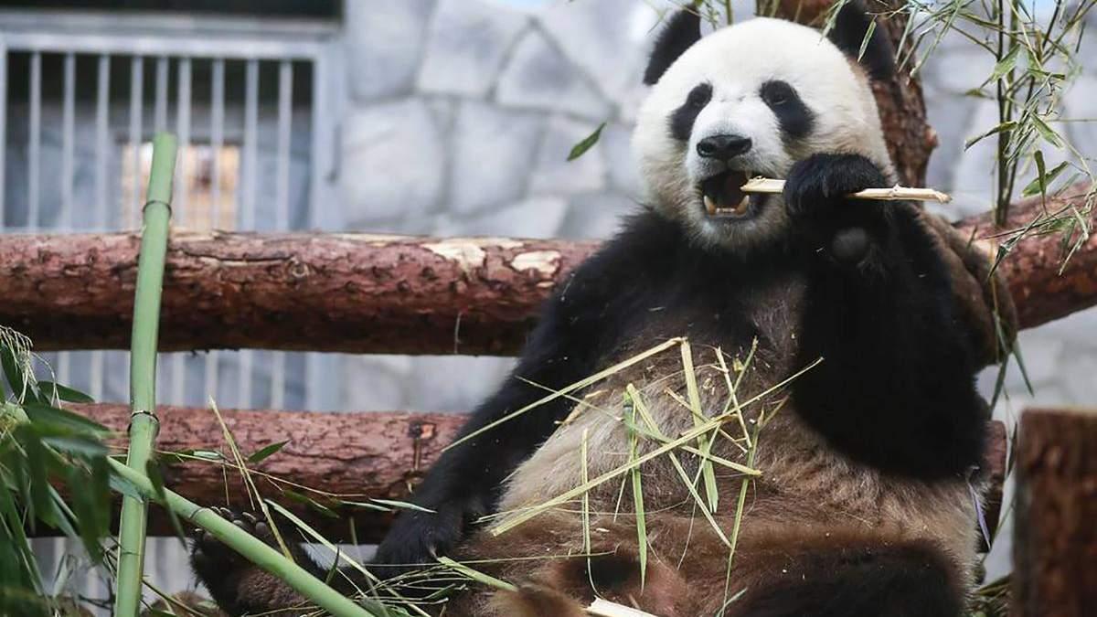 Панда в Московському зоопарку впала з ялинки- відео