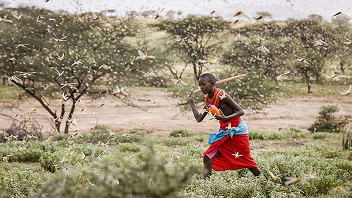Найбільше за 25 років нашестя сарани атакує Африку: вражаючі фото та відео