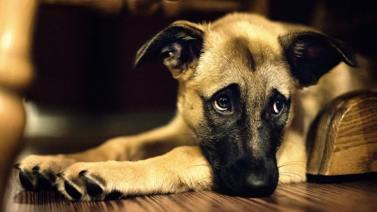 Живодер вбив одного собаку та поранив іншого
