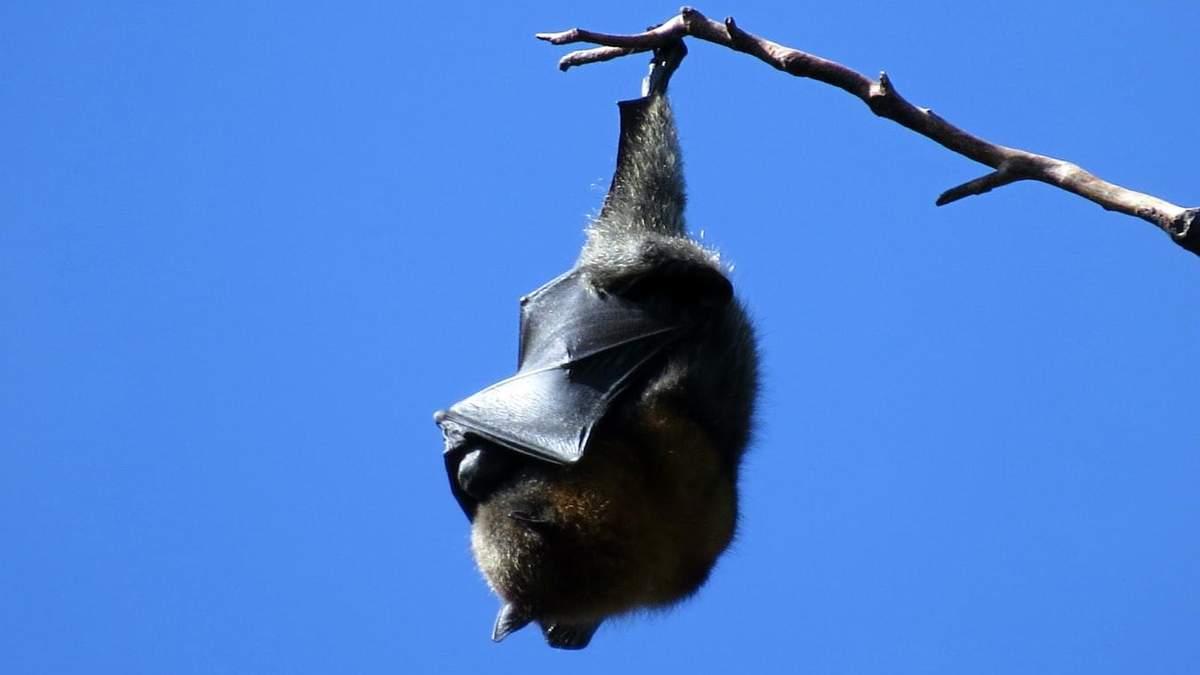 Летучие мыши могут быть источником коронавируса