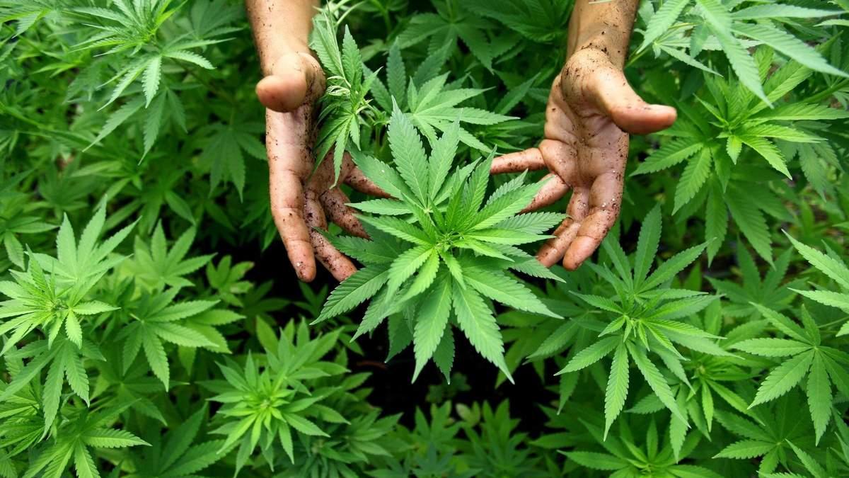 Иследования о марихуане как различить коноплю видео