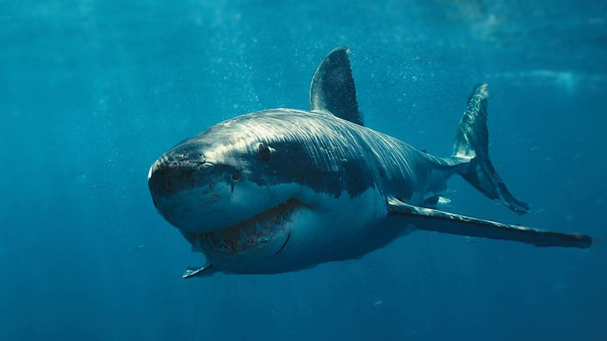 Пенсионер рассказал, как спасся от белой акулы