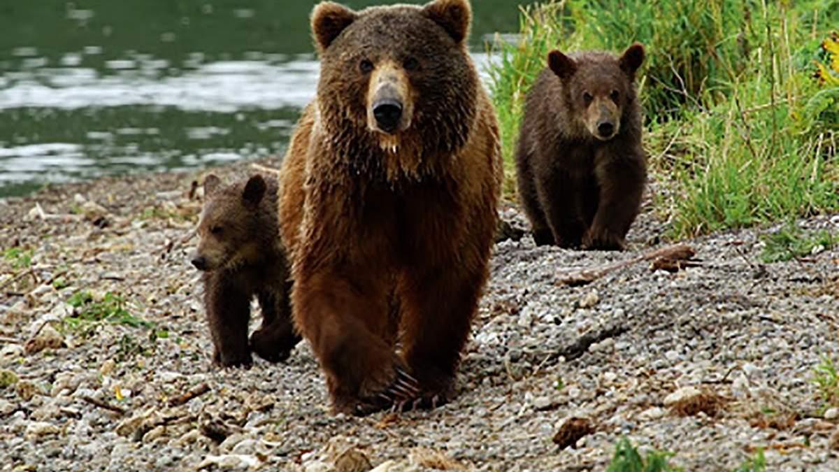 В Украине зимой родилось до 50 медвежат: фото