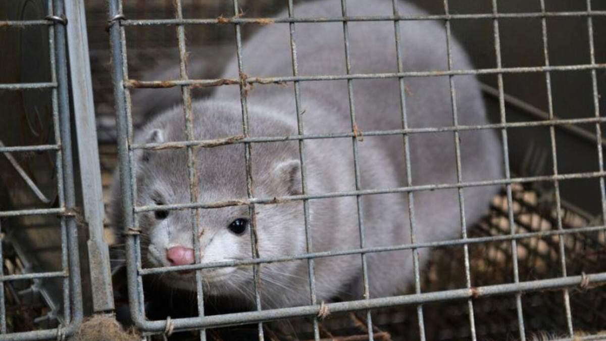 В Нидерландах коронавирусом заболели норки: кто инфицировал животных