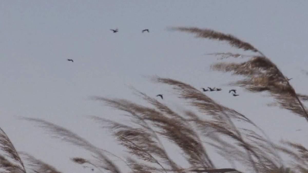 Чайки-реготухи масово оселилися на узбережжі Азовського моря