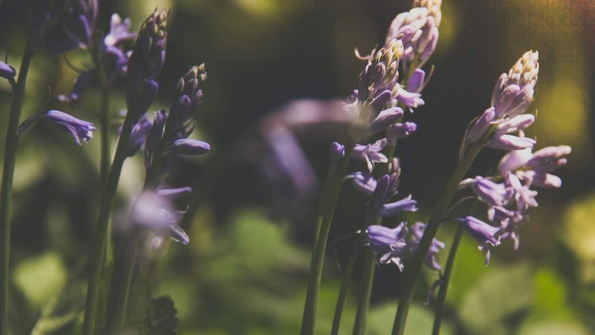 Найбільше в Європі поле диких орхідей розквітло на Миколаївщині попри посуху: відео