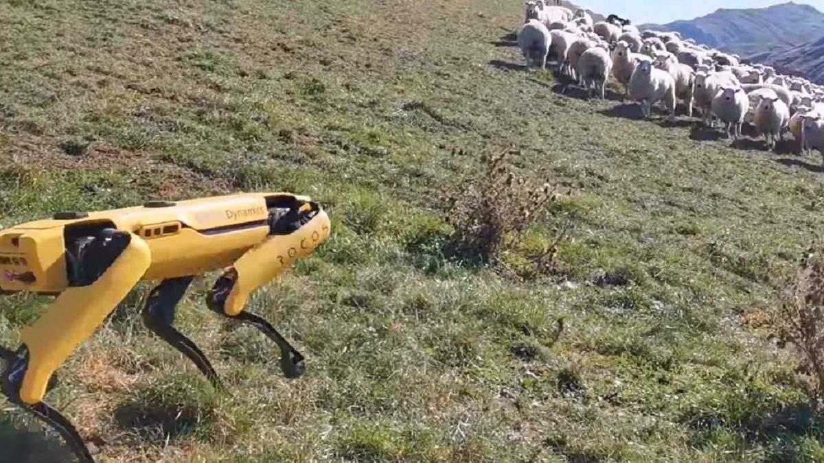 Spot научили выпасать овец