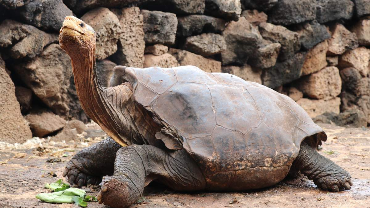 Легендарний черепаха Дієго повернувся у дику природу