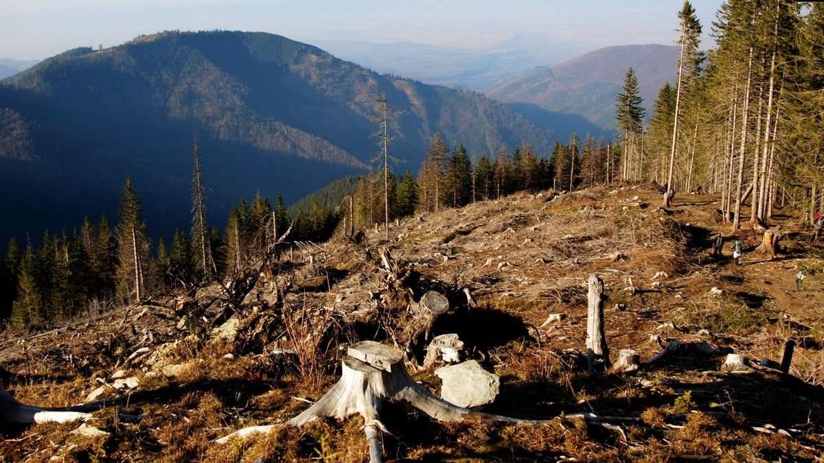 Вырубка лесов в Карпатах сократилась, но дело не разоблачают