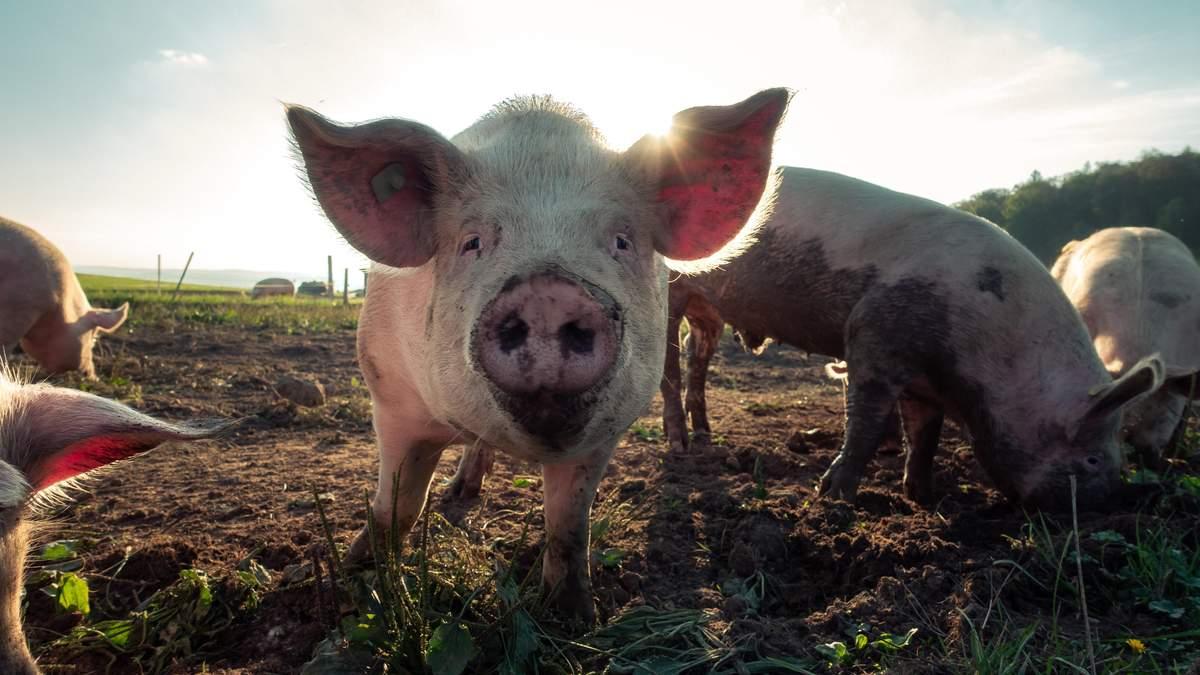 Новий штам свинячого грипу в Китаї G4: що відомо, чи викличе пандемію