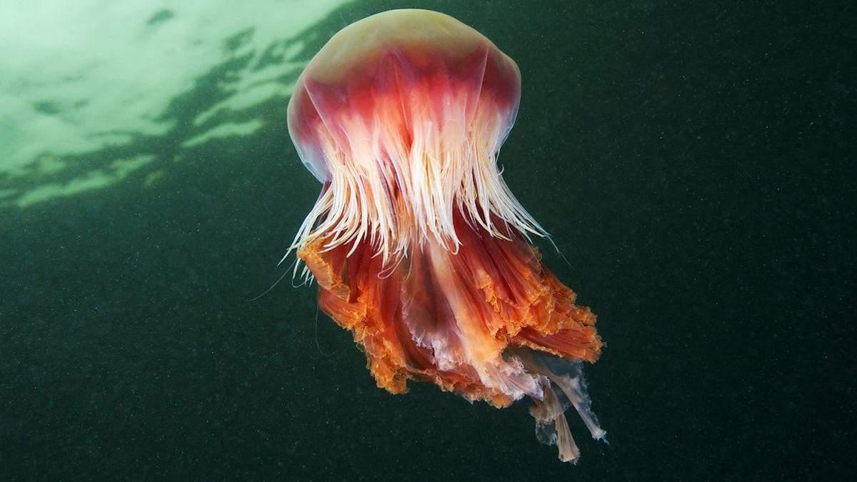 Гігантську медузу зафіксували на пляжі у Великій Британії