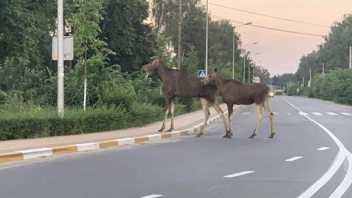 Під Києвом лось розгулював посеред дороги 2 липня 2020: фото