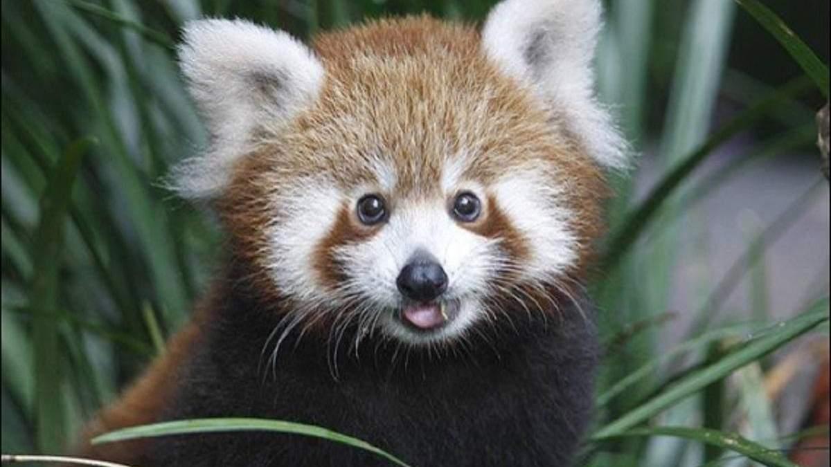 В Берлине родилась редкая красная панда