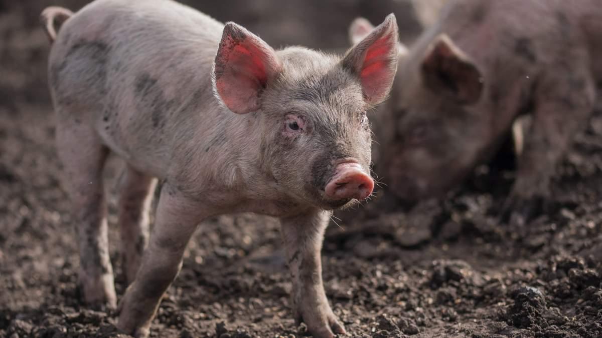 1,5 тысячи свиней сгорели заживо: масштабный пожар вспыхнул во Франции
