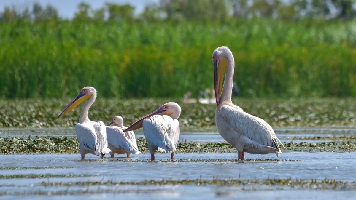 Розовые пеликаны в Украине 2020: фото, видео