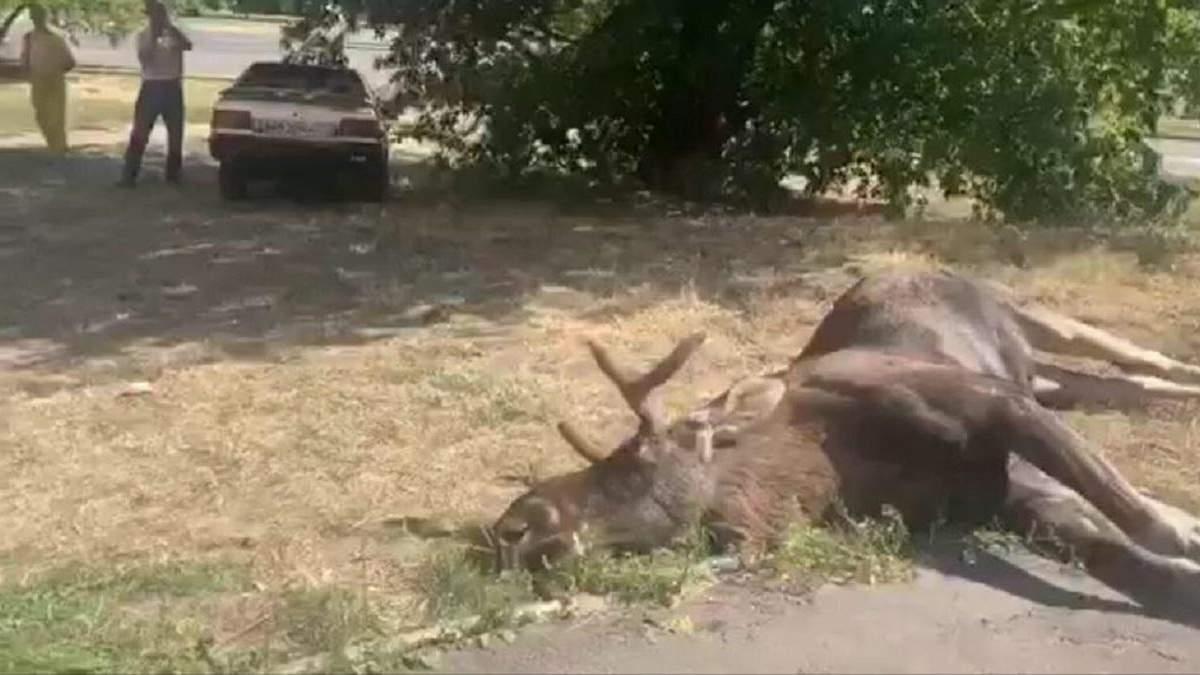 Лось загинув в ДТП у Голосіївському районі Києва 20.08. 2020: відео