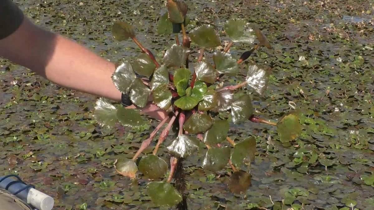 Краснокнижное растение оккупировало Днепр: чем опасен водяной орех